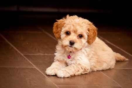 Filhote Poodle no chão
