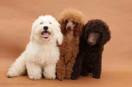Três Poodles multicoloridos