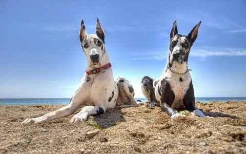 Dois cachorros grandes na praia