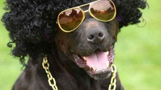 Cachorro preto com peruca e óculos