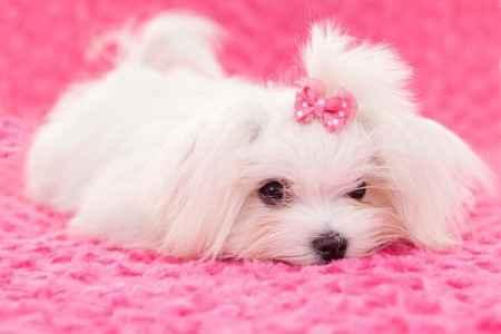 Nome de cão fêmea raça maltês
