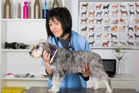 Schnauzer Miniatura no veterinário