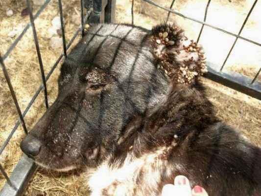 cachorro infestado por carrapato