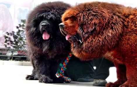 Cachorro Mastino Tibetano